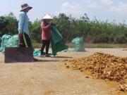 Thị trường - Tiêu dùng - Đổ xô vào rừng khai thác cây cu li kiểu tận diệt
