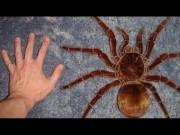 Thế giới - Tìm ra 3 loài nhện khổng lồ chuyên ăn thịt chim ở Nam Mỹ