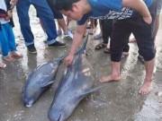 Tin tức trong ngày - Hà Tĩnh: Ngư dân bắt được 3 con cá heo gần bờ biển