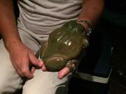 Phi thường - kỳ quặc - Tìm thấy con ếch khổng lồ to hơn bàn tay người lớn ở Úc