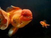 """Thế giới - Cá vàng """"khủng"""" nhất nước Anh giá gần 130 triệu đồng"""