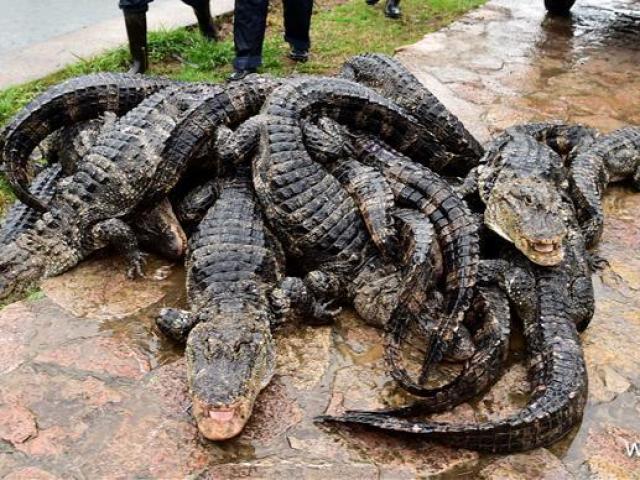 Cảnh nhung nhúc trong trang trại cá sấu lớn nhất Thái Lan - 14