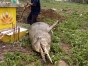 Tin tức trong ngày - Phát hiện cá lạ nặng gần 1 tạ, chết bên ngôi mộ ven biển