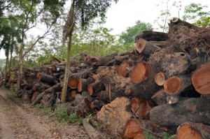 Phó Thủ tướng yêu cầu Hà Nội xử nghiêm vụ chặt cây xanh