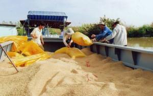 Thị trường - Tiêu dùng - Xuất khẩu gạo sang TQ: Coi chừng sôi động giả