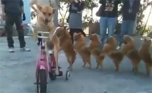 8X + 9X - Thích thú với clip chó đi xe đạp bằng hai chân