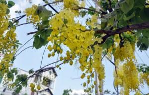 """Tin tức trong ngày - Ảnh: Hoa Osaka """"nhuộm vàng"""" đường phố Sài Gòn"""