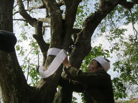 """Giải mã tục """"chít khăn tang"""" cho cây ở làng ven đô"""