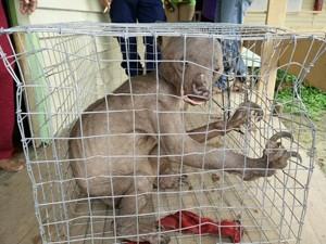 Phi thường - kỳ quặc - Video: Sự thật về sinh vật lạ ở Malaysia bị dân đuổi đánh