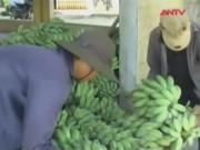 Thị trường - Tiêu dùng - Thương lái Phú Yên ồ ạt gom chuối xanh bán sang TQ