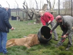 Tin tức trong ngày - Video: Sư tử tham ăn khốn khổ vì kẹt đầu trong thùng