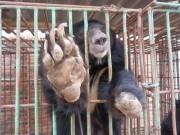 """Tin tức trong ngày - Báo Anh """"lên án"""" trang trại mật gấu tại Việt Nam"""