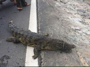 Tin tức Việt Nam - Truy tìm nguồn gốc cá sấu 30kg nằm phơi nắng bên QL 1A