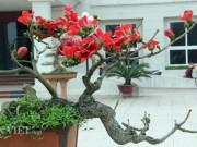 """Tin tức trong ngày - HN: Cây gạo """"nhí"""" nở hoa, dân chơi bonsai mê mẩn"""