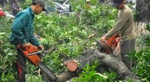 Hà Nội báo cáo vụ chặt cây xanh lên Thanh tra Chính phủ