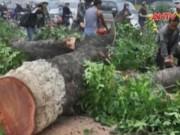 Video An ninh - Lập tổ theo dõi việc thanh tra thay thế cây xanh ở HN