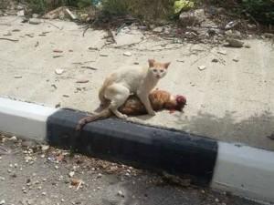 Thế giới - Cảm động chú mèo kéo đồng loại bị tai nạn vào vỉa hè