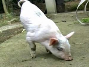 Phi thường - kỳ quặc - Video: Nghị lực chú heo 2 chân tập đi ở Trung Quốc