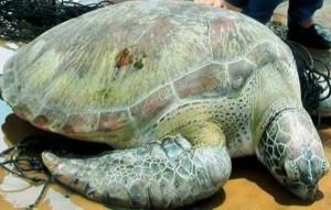 Tin tức trong ngày - Rùa biển quý hiếm nặng 62kg sa lưới ngư dân