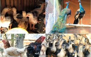 Thị trường - Tiêu dùng - ĐỘC ĐÁO: Trang trại gà Đông Tảo, chim công, vịt trời của cử nhân xây dựng