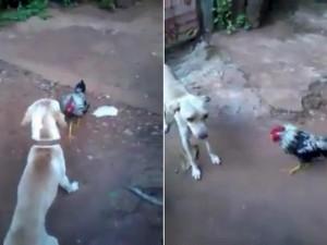 Phi thường - kỳ quặc - Video: Gà dũng cảm đánh đuổi chó to gấp nhiều lần
