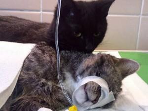 """Phi thường - kỳ quặc - Chú mèo """"y tá"""" đáng yêu nhất trong lịch sử"""