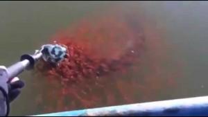 Phi thường - kỳ quặc - Clip cảm động đàn cá con lao vào cứu cá mẹ bị mắc câu