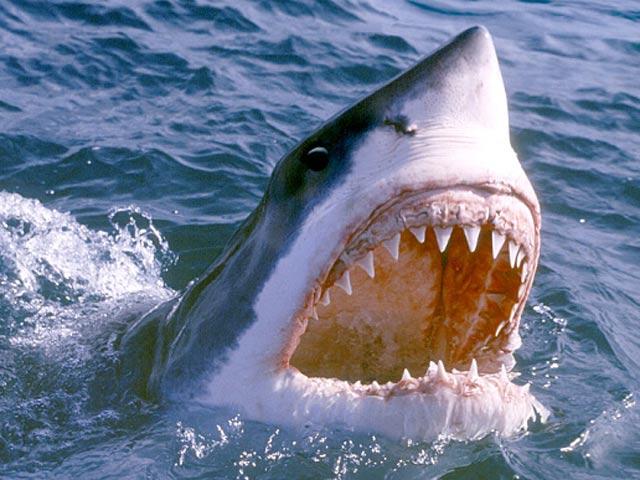Thả camera xuống biển sâu, không ngờ với hành động cá mập trắng - 2