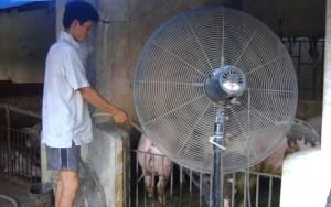 """Thị trường - Tiêu dùng - Kỳ công """"phun mưa"""", thốc quạt để... bò, lợn, gà bớt nóng"""