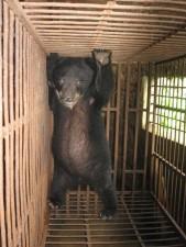 """Tin tức trong ngày - Hơn 1.000 cá thể gấu đang """"sống khổ"""" ở Việt Nam"""