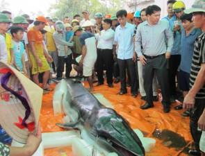 Tin tức trong ngày - Xác cá voi nửa tấn dạt vào bờ biển Thanh Hóa