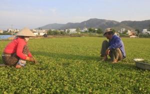 Thị trường - Tiêu dùng - Trời càng nắng, người trồng rau má càng... vui
