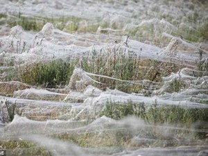 Phi thường - kỳ quặc - Rùng mình với hàng triệu con nhện giăng tơ kín đồng cỏ