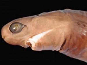 Phi thường - kỳ quặc - Những loài cá mập kỳ dị ít ai biết