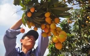 Thị trường - Tiêu dùng - Vải thiều đầu mùa: 20.000 đồng/kg bán tại vườn