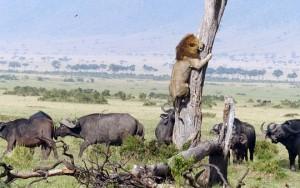 Thế giới - Phì cười sư tử sợ hãi trèo lên cây để… trốn trâu