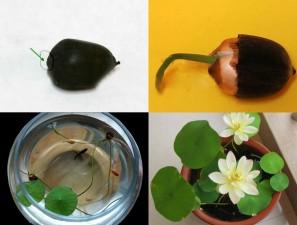 Thị trường - Tiêu dùng - Bí quyết tự trồng hoa sen mini tại gia cực dễ