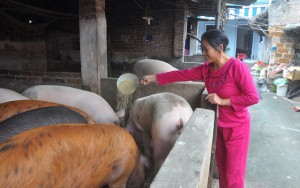 Thị trường - Tiêu dùng - Nuôi lợn siêu nạc, bỏ túi 300 triệu đồng/năm