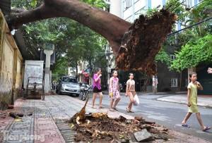 Tin tức Việt Nam - HN: Phượng cổ thụ đổ sập lên nóc nhà sau cơn cuồng phong