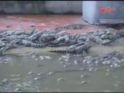 Thị trường - Tiêu dùng - Thương lái Trung Quốc lùng sục tìm mua cá sấu con