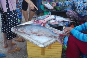 Giá cả - Ngư dân Huế trúng mẻ cá thiều gần 4 tỷ đồng