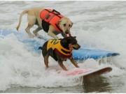 Video An ninh - Lạ lùng cuộc thi lướt ván dành cho chó