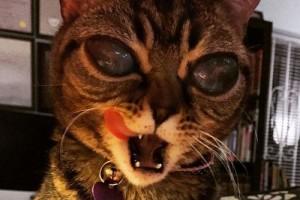 """Phi thường - kỳ quặc - Cận cảnh chú mèo """"ngoài hành tinh"""" gây sốt mạng xã hội"""