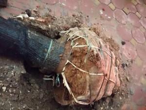 Cây mới trồng đổ lộ lưới bọc sau dông lốc: Chuyên gia nói gì?
