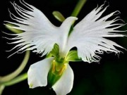 Phi thường - kỳ quặc - Loài hoa lạ hình chim hạc sải cánh tuyệt đẹp