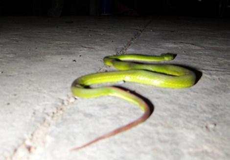 Vứt con rắn lục đuôi đỏ hôm trước, hôm sau rắn tiếp tục bò vào nhà - 7