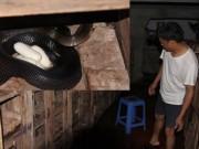 Giá cả - Nỗi lo của làng rắn trăm tỷ