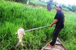 Tin tức trong ngày - Quảng Nam: Vớt gần 1,5 tấn cá nổi bất thường trên sông