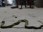 Tin tức Việt Nam - Về nơi rắn lục đuôi đỏ xuất hiện nhiều nhất ở TP.HCM