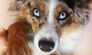 """Phi thường - kỳ quặc - 21 chú chó có khả năng """"thôi miên"""" người nhìn"""